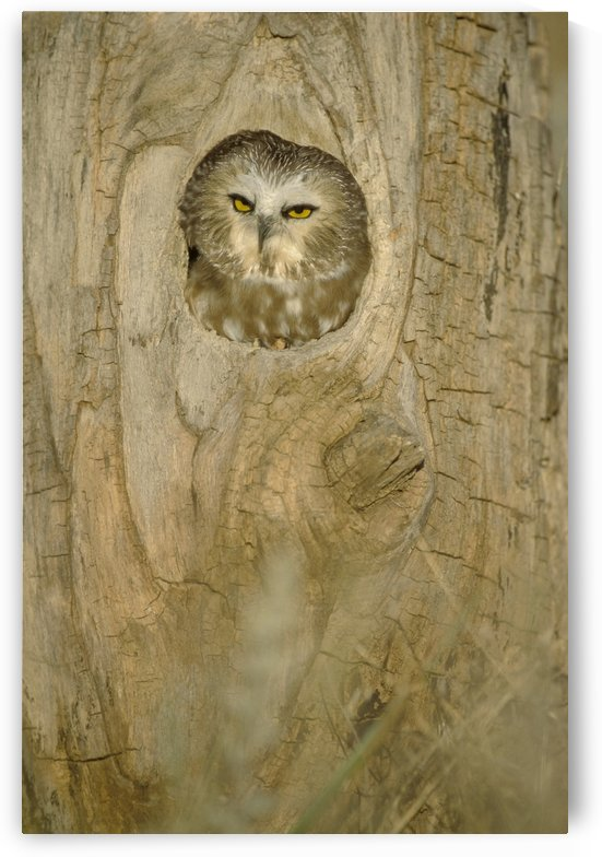 Saw Whet Owl In Hollow Tree by PacificStock