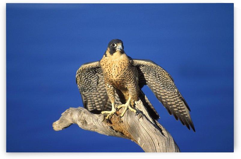 Peregrine Falcon On Perch by PacificStock