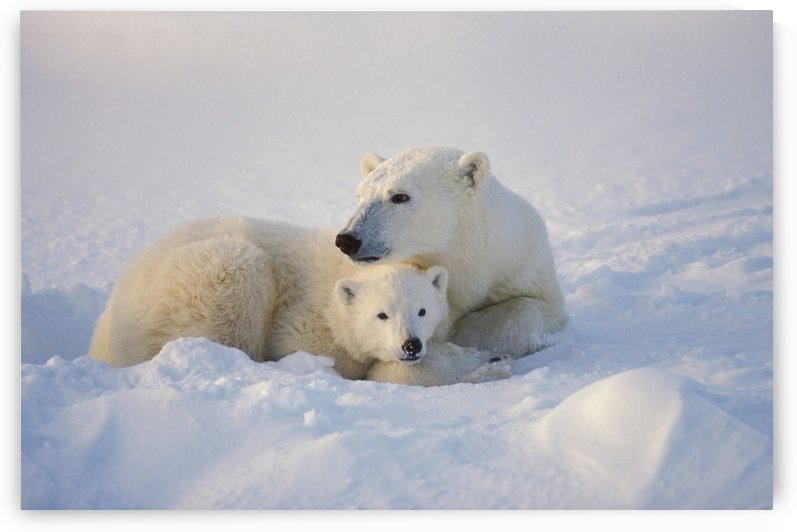 Polar Bear Sow With Cub by PacificStock