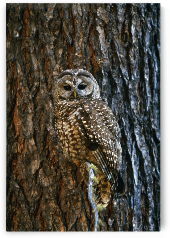 Mexican Spotted Owl Camouflaged Against Tree Bark by PacificStock