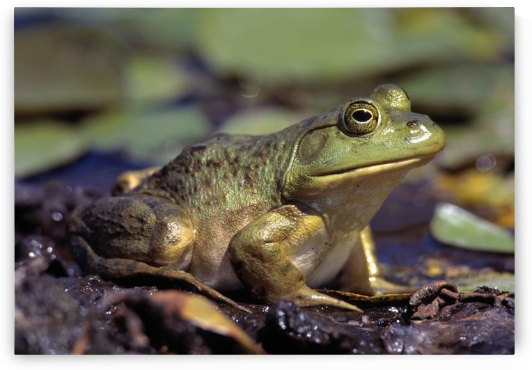Close-Up Of A Bullfrog by PacificStock