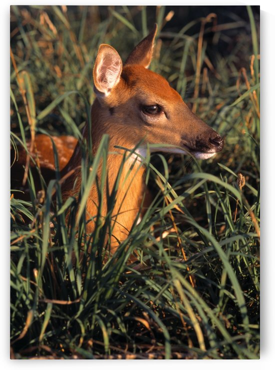 Young Deer Laying In Grass by PacificStock