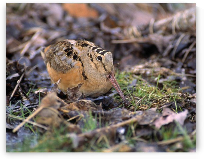 American Woodcock Bird by PacificStock