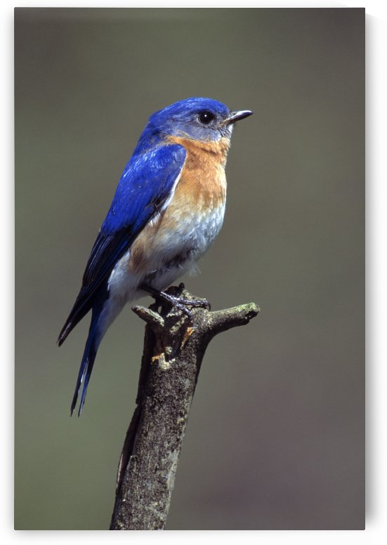 Eastern Bluebird by PacificStock