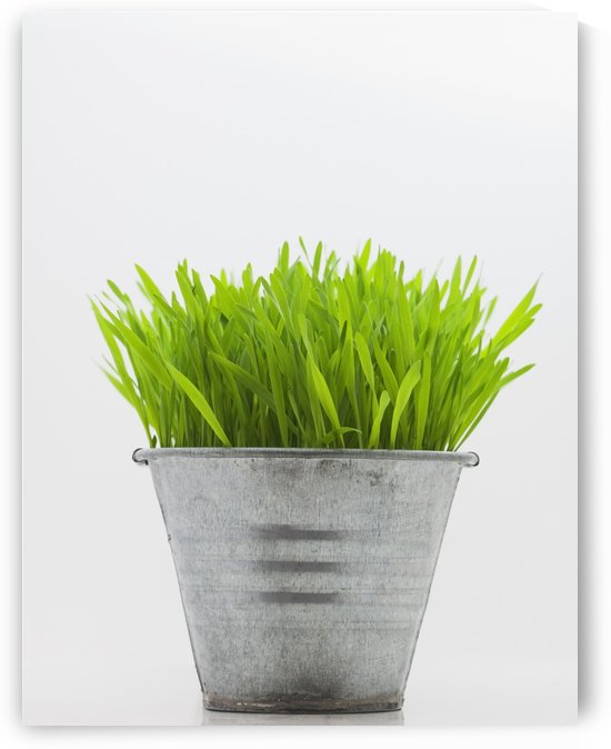 Green Grass In Metal Planter Against White Background by PacificStock
