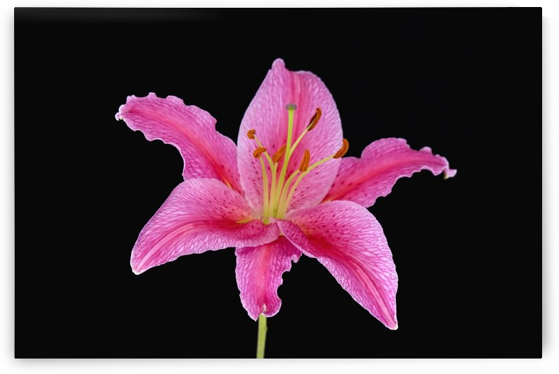 Pink Lily Against Black Background by PacificStock