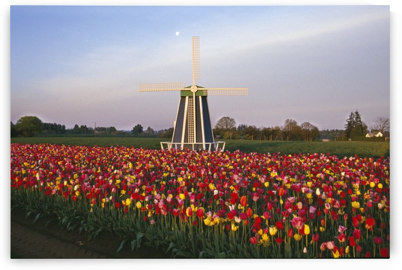 Tulip Field And Windmill by PacificStock