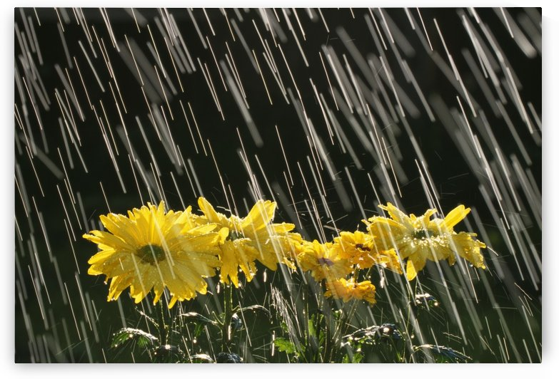 Rain On Yellow Daisies by PacificStock