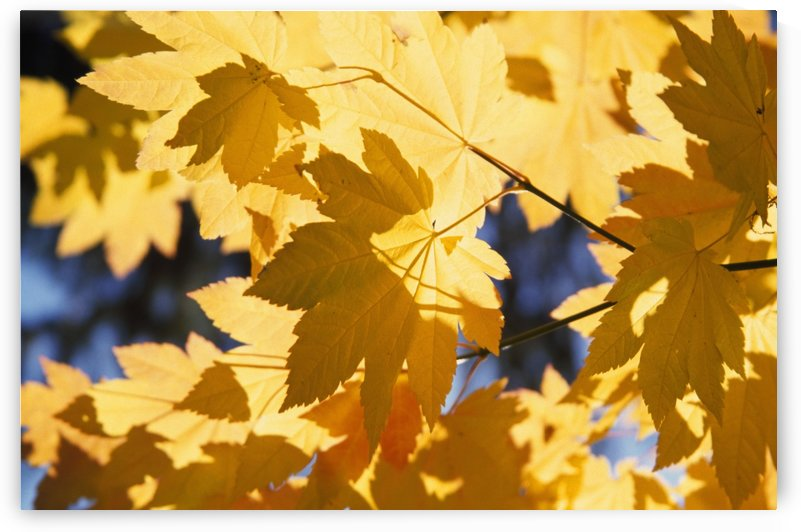 Vine Maples Leaves In Autumn by PacificStock
