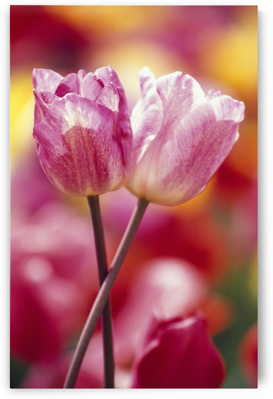 Close-Up Of Tulips by PacificStock