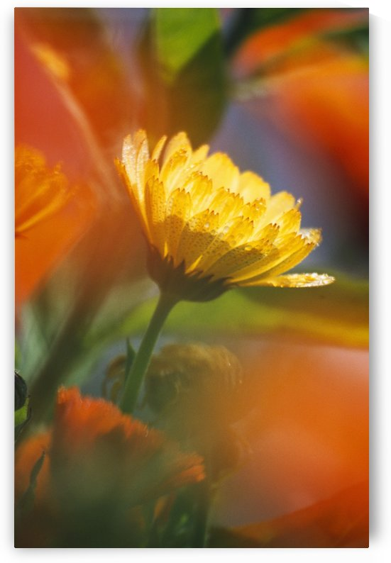 Close-Up Of Wildflower by PacificStock