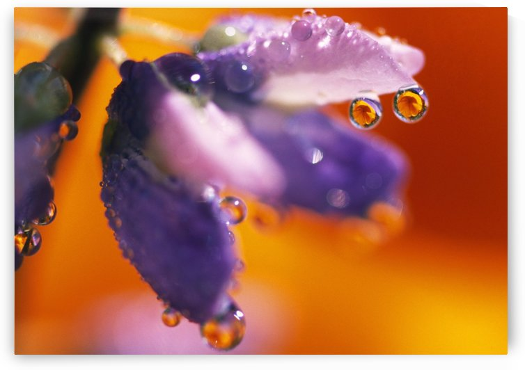 Reflection Of Flower In Dew Drops by PacificStock