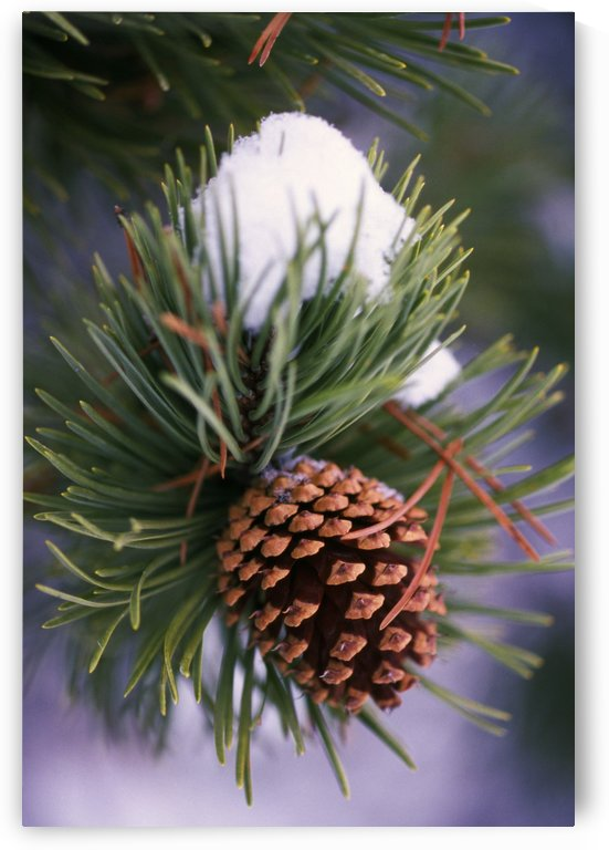 Early Snow On Pine Tree Branch With Pinecone by PacificStock