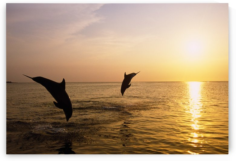 Silhouette Of Bottlenose Dolphins by PacificStock