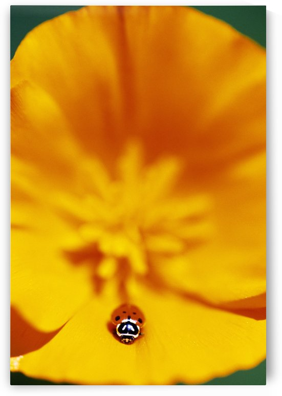 Ladybug On Poppy Flower Petal by PacificStock