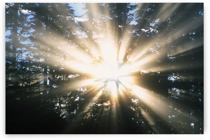 Sunrays Through A Forest by PacificStock
