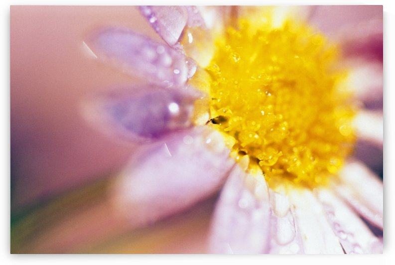 Detail Of Flower Blossom With Dew Drops by PacificStock