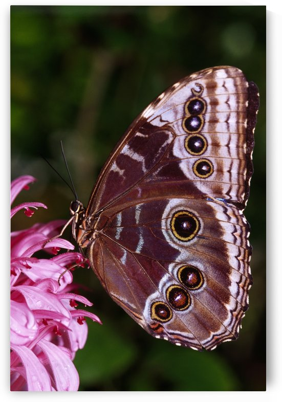 Blue Morpho Butterfly On Flower by PacificStock
