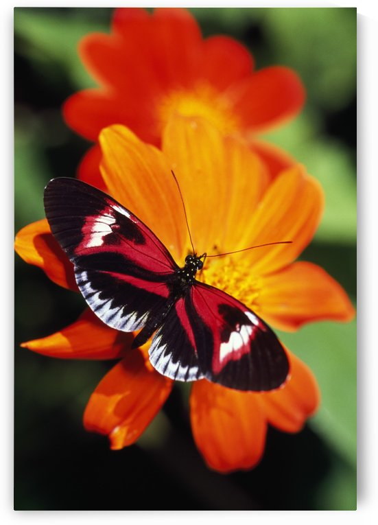 Butterfly On Flower by PacificStock