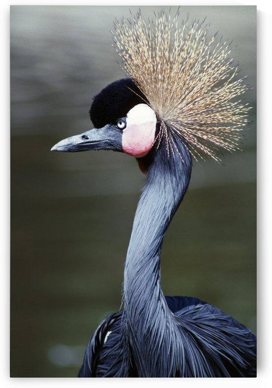 Crowned Crane by PacificStock
