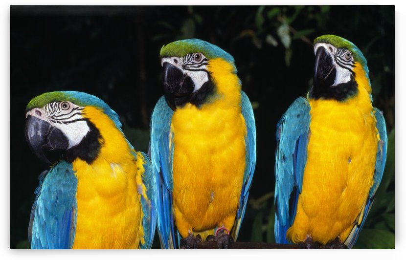 Three Parrots by PacificStock