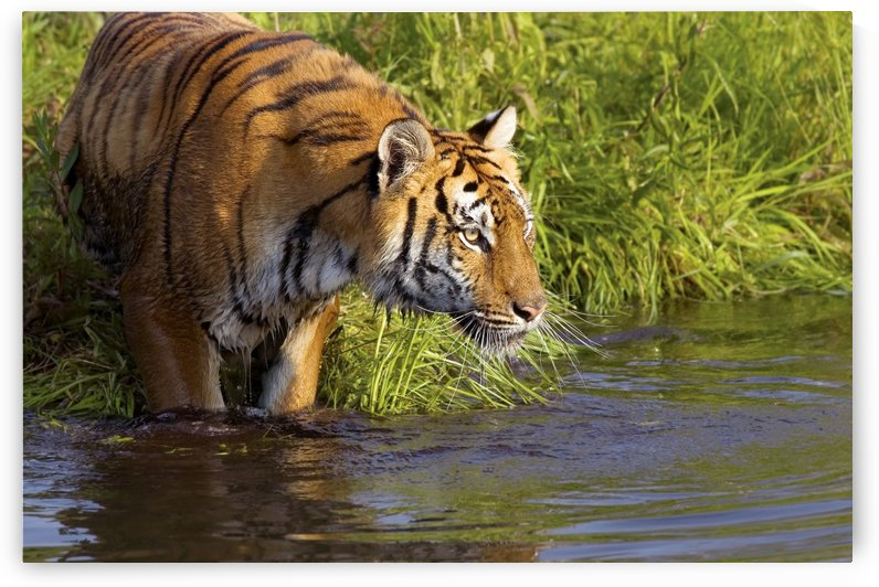 Tiger Standing In Water by PacificStock