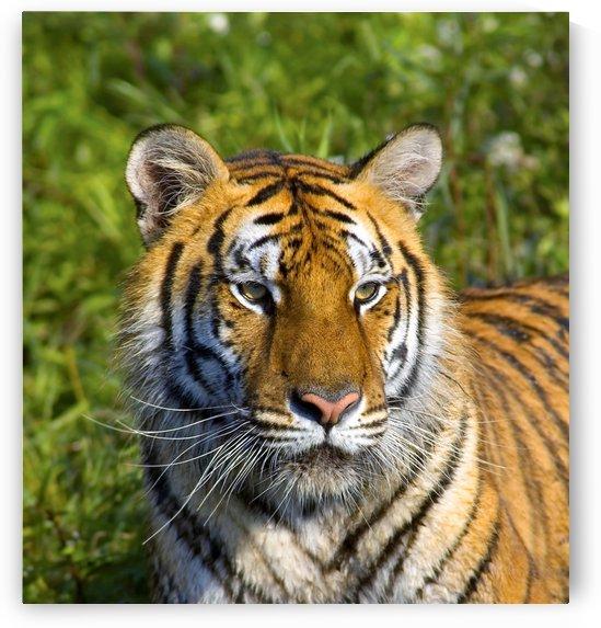 Tigress by PacificStock