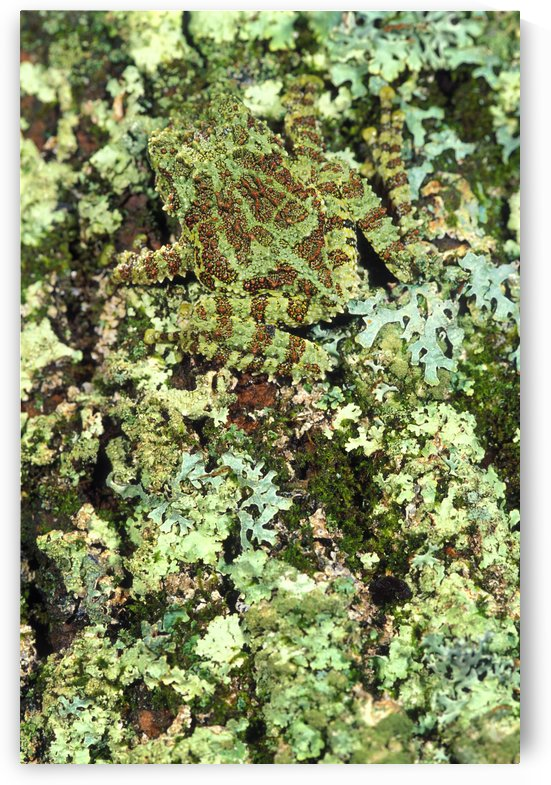 Camouflaged Vietnamese Mossy Tree Frog by PacificStock