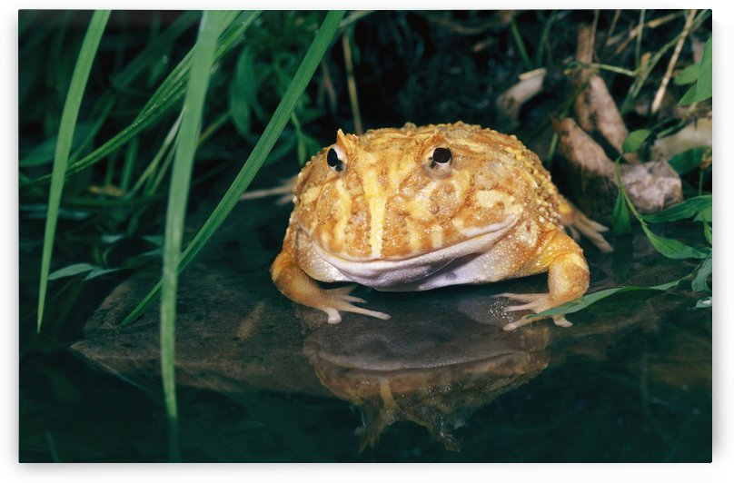 Albino Horned Frog by PacificStock