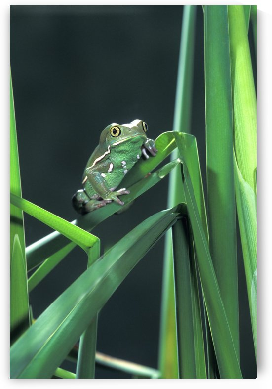 Painted Monkey Frog In Reeds by PacificStock