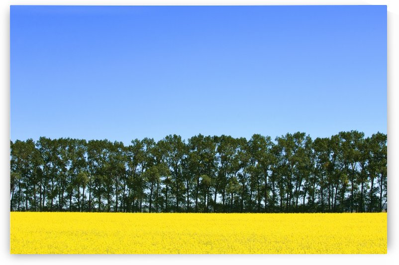 Canola Field And Trees by PacificStock