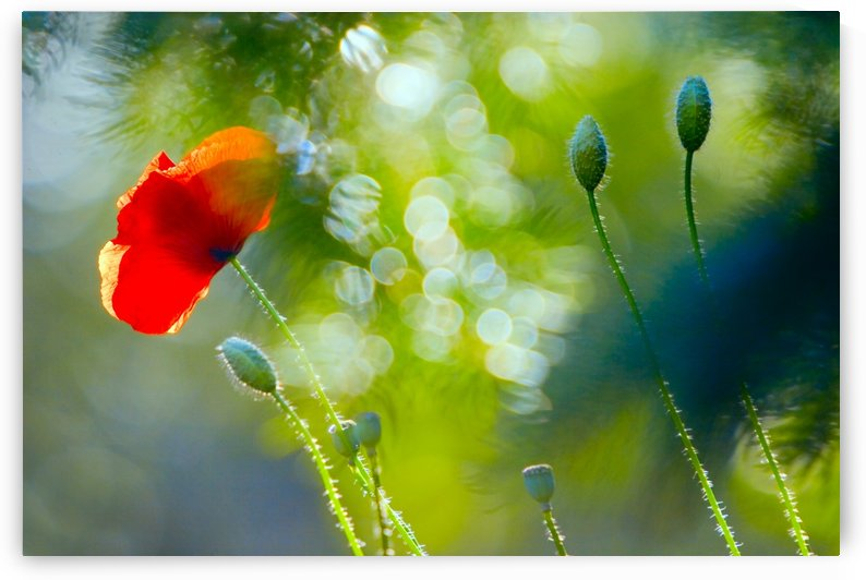 Red Poppy by PacificStock
