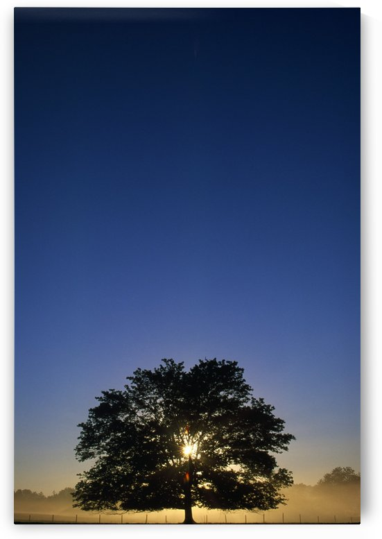 Oak Tree With Starburst Coming Through by PacificStock