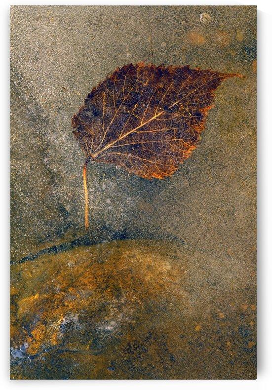 Frozen Leaf by PacificStock