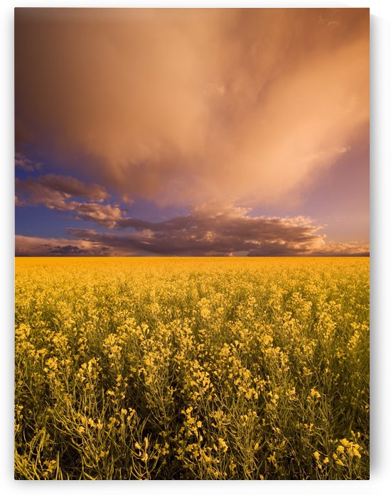 Sunset On A Canola Field by PacificStock