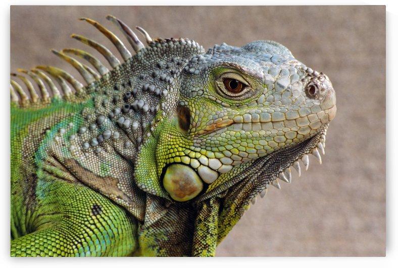 Iguana Profile by PacificStock