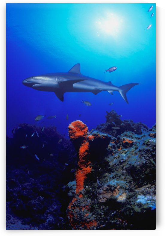 Caribbean Reef Shark by PacificStock