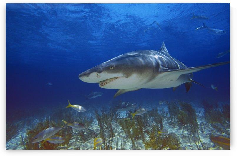 Lemon Shark by PacificStock