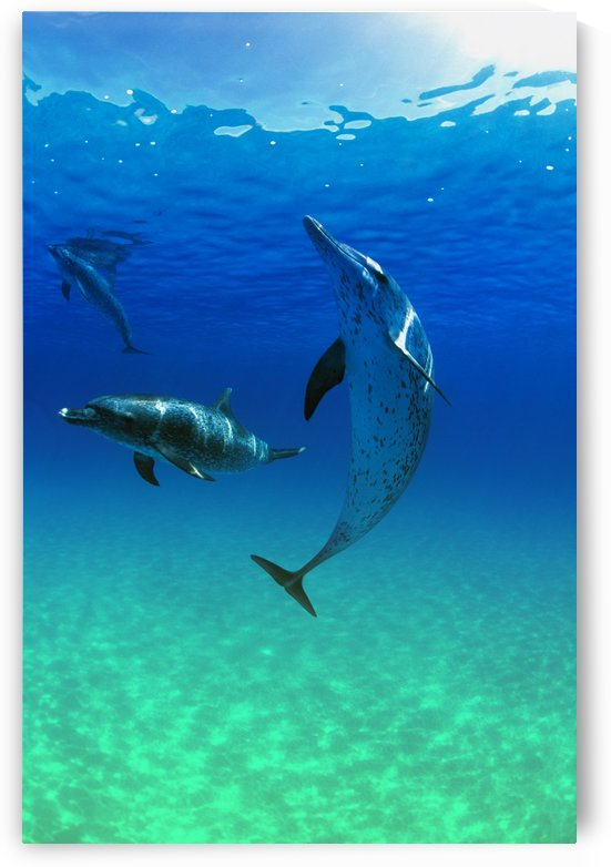 Atlantic Spotted Dolphins In The Bahamas by PacificStock