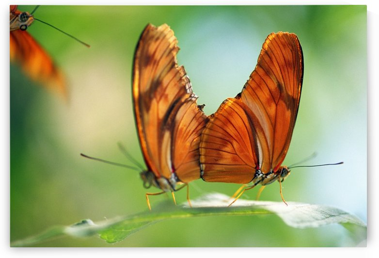 Two Butterflies On A Leaf by PacificStock