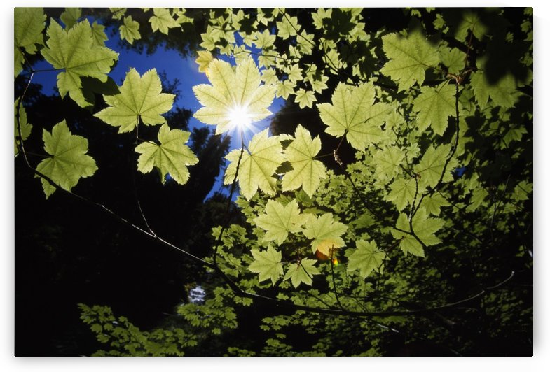 Sunlight Through Maple Leaves by PacificStock
