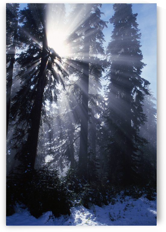 Sunbeams Through Pine Trees by PacificStock