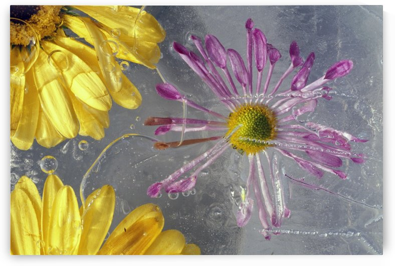Flower Blossoms Under Ice by PacificStock