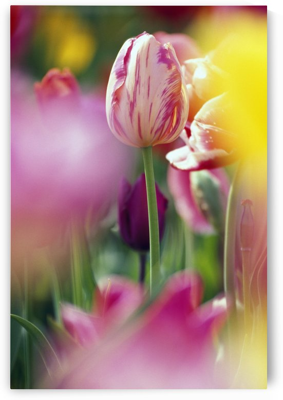 Tulip Flower by PacificStock