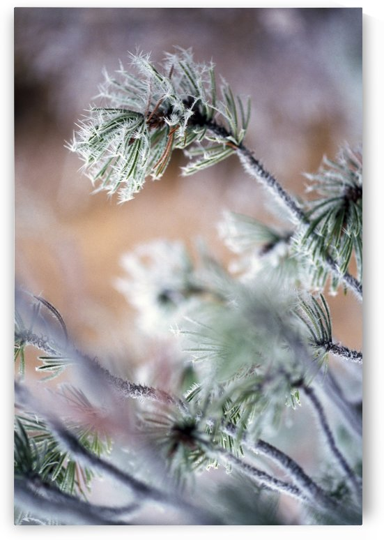 Frost On Pine Tree Branches by PacificStock