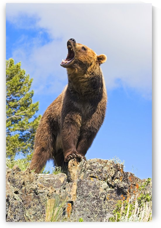 Grizzly Bear Roaring by PacificStock