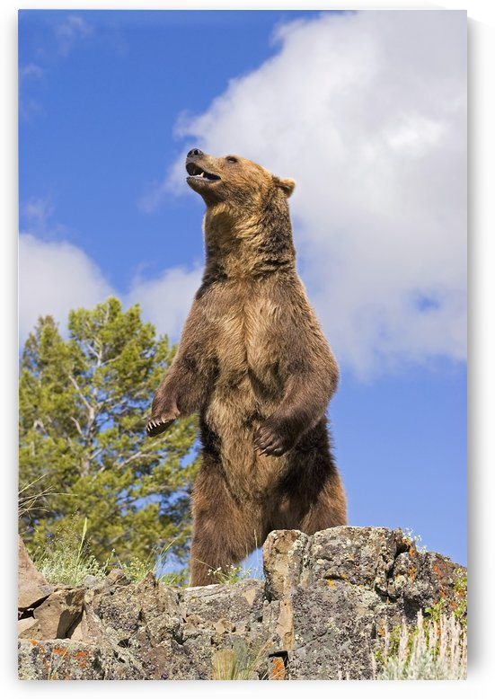 Grizzly Bear Standing On A Ridge by PacificStock
