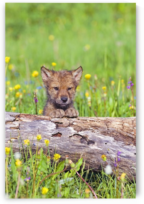 Young Wolf Cub Peering Over Log by PacificStock