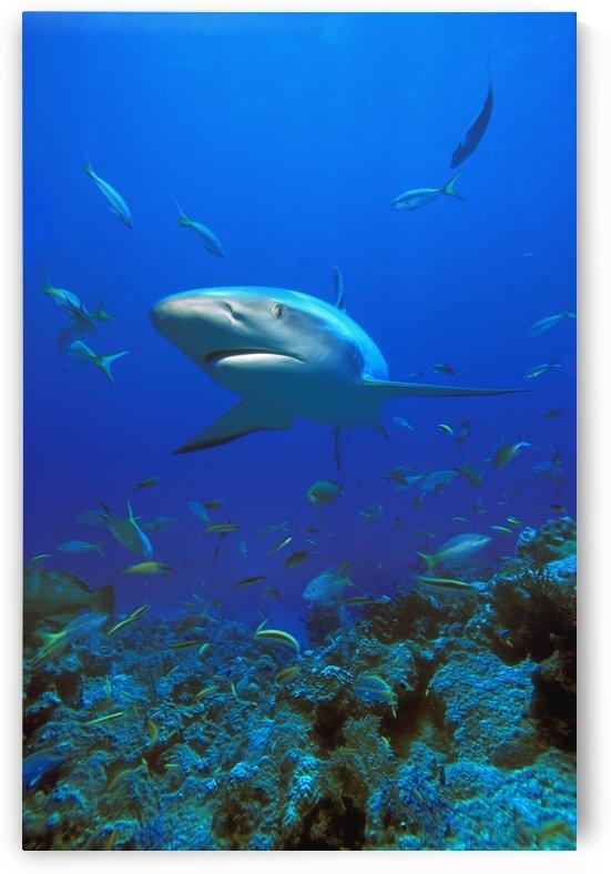Caribbean Reef Shark (Carcharhinus Perezi) by PacificStock