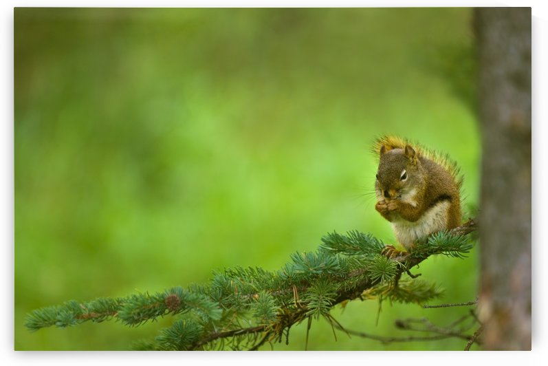 Red Squirrel On A Tree Branch by PacificStock